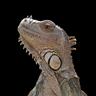 IguanaLover